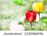 two beautiful tulip flower on a ... | Shutterstock . vector #1220386996