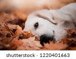 beautiful golden retriever in... | Shutterstock . vector #1220401663