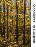 golden fall. norway maple  acer ... | Shutterstock . vector #1220502280