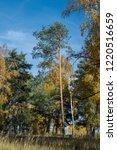 golden fall. scots pine  pinus... | Shutterstock . vector #1220516659