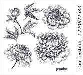 peonies flowers realistic...   Shutterstock .eps vector #1220622583