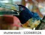 aracari toucan in costa rica....   Shutterstock . vector #1220680126