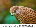 portrait of common kestrel ... | Shutterstock . vector #1220718769