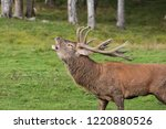 red deer in rut | Shutterstock . vector #1220880526