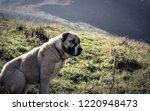 female yllirian shepherd dog  a.... | Shutterstock . vector #1220948473