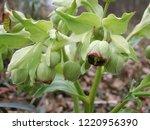 helleborus foetidus winter... | Shutterstock . vector #1220956390