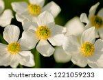 narcissus anemone  anemone...   Shutterstock . vector #1221059233