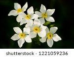 narcissus anemone  anemone...   Shutterstock . vector #1221059236