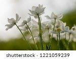 narcissus anemone  anemone...   Shutterstock . vector #1221059239