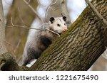 Virginia Opossum     North...