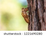 slough of cicada insect molt on ... | Shutterstock . vector #1221690280