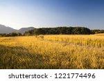 autumn rice field | Shutterstock . vector #1221774496