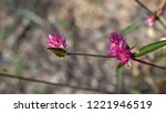 gomphrena sonorae or sonoran... | Shutterstock . vector #1221946519