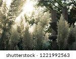 sun shining through fluffy reed....   Shutterstock . vector #1221992563