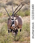 Two Gemsbok Grazing In The...