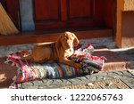 puppy of hungarian vyzhla lying ... | Shutterstock . vector #1222065763