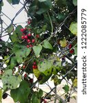plant with red berries... | Shutterstock . vector #1222085779