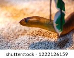 argyrogena fasciolata or banded ... | Shutterstock . vector #1222126159