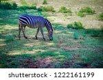 Blurred Zebra Eating Grass Grassland - Fine Art prints