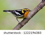 adult breeding male... | Shutterstock . vector #1222196383