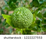 early stage of sumo citrus ... | Shutterstock . vector #1222227553