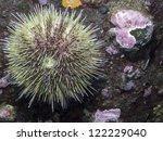 Green Sea Urchin ...