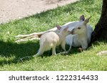 the joey is about to nuzzle its ... | Shutterstock . vector #1222314433