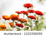 orange little blooming autumn... | Shutterstock . vector #1222358350