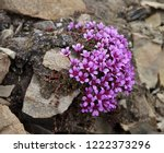 delicate flowers of saxifrage ... | Shutterstock . vector #1222373296