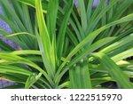 a screw pine of the genus...