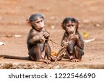 Baby Baboons Playing  On The...