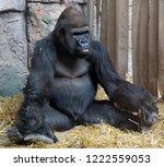 gorillas are ground dwelling ... | Shutterstock . vector #1222559053