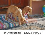 puppies of hungarian vyzhla... | Shutterstock . vector #1222644973