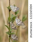 Small photo of The Pioneer White or African Caper White (Belenois aurota) also known as the Brown-veined White Butterfly