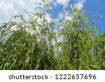 weeping willow on a very good...   Shutterstock . vector #1222657696