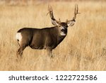 Mule Deer Buck   Wild Deer In...