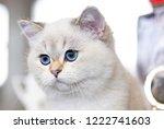 portrait of a british cat white ... | Shutterstock . vector #1222741603