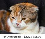 portrait of a scottish fold cat. | Shutterstock . vector #1222741609
