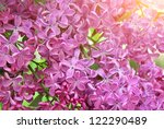 Lilac Flower Texture. Nature...