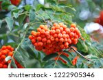rowan berries  mountain ash ... | Shutterstock . vector #1222905346