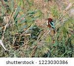 white throated kingfisher... | Shutterstock . vector #1223030386