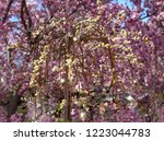 yellow weeping pussy willow...   Shutterstock . vector #1223044783