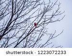 a red male cardinal songbird... | Shutterstock . vector #1223072233