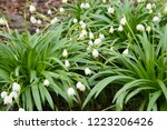 white snowdrops or galanthus... | Shutterstock . vector #1223206426