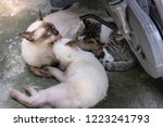 Stock photo the cat s mother is cleaning her kitten s fur another kitten sucking milk warm from the mother 1223241793