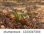 white galanthus  snowdrops   in ... | Shutterstock . vector #1223267203