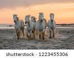 Wild Camargue Horses Galloping...