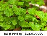 spearmint leaves   garden mint  ... | Shutterstock . vector #1223609080