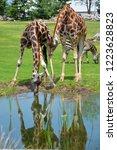 drinking giraffe  giraffa... | Shutterstock . vector #1223628823