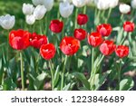 red and white flowers in a... | Shutterstock . vector #1223846689